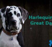 Harlequin Great Dane – The Amazing Great Dane