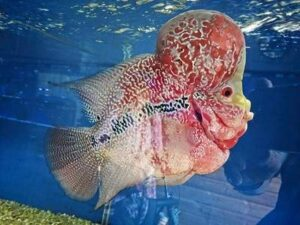 Flowerhorn Fish Types, Care and breeding