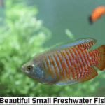 10 Beautiful Small Freshwater Fishes for Small Aquarium