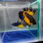 Mustard gas Butterfly Rosetail Betta Fish