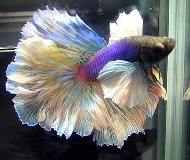 betta fish in small tank