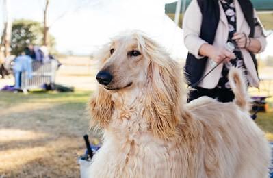 big dog afghan hound