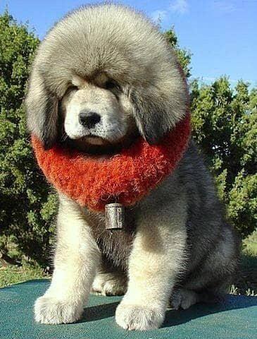 big tibetan mastiff dog