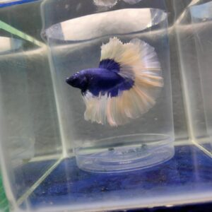 Blue Butterfly over halfmoon Betta fish