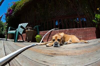 big dog, boerboel