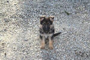 German Shepherd Double coat puppy for sale