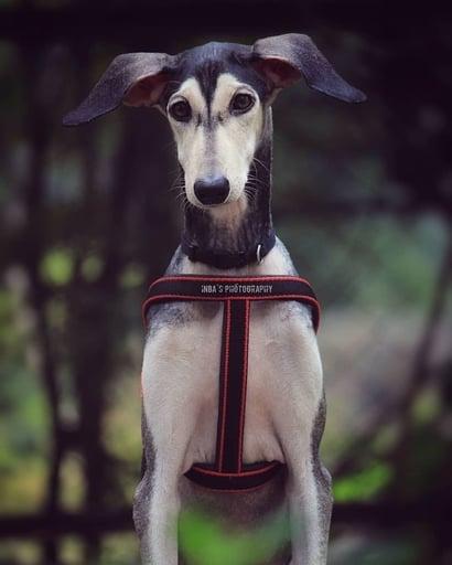 indian dog breed kanni