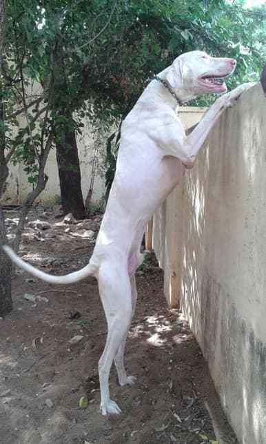 rajapalayam dog