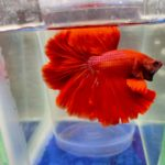 Red ohm Betta Fish