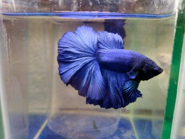 royal blue betta fish