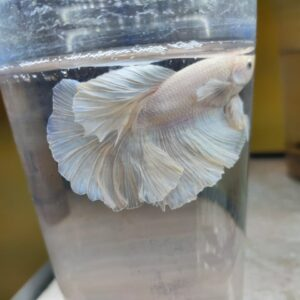 White Over Half moon Betta Fish