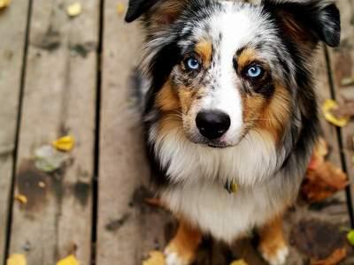 Australian shepherd dog with blue eyes