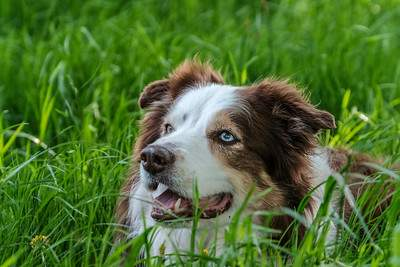 border collie dog with blue eyes