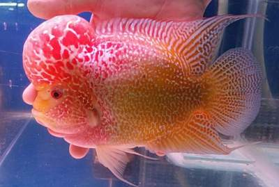 golden base fader flowerhorn fish