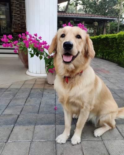 golden retriever dog in india