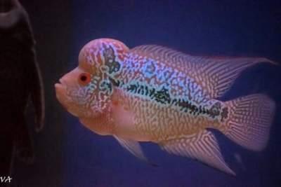 magma flowerhorn fish