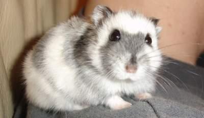 dwarf hamster for sale