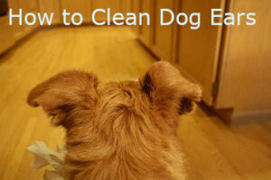 Read more about the article How to Clean Dog Ears