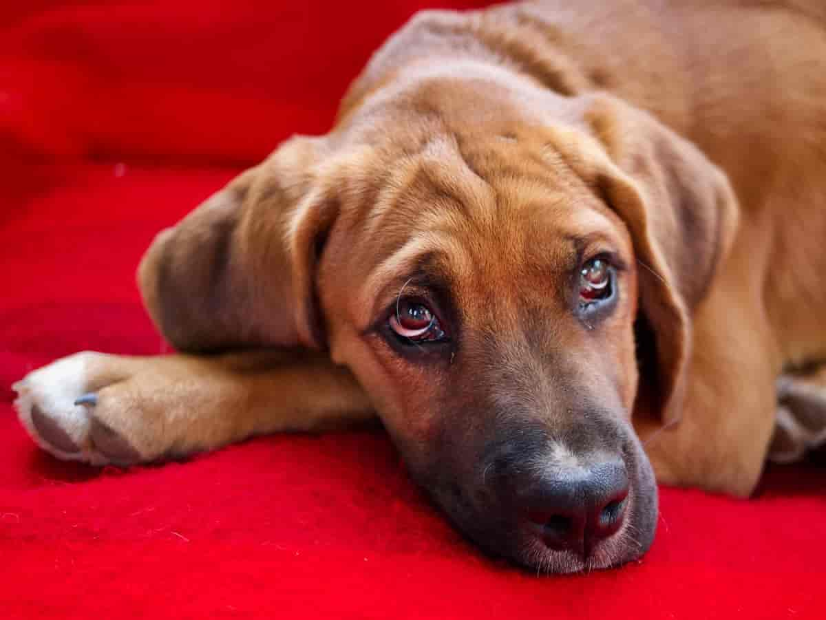 Read more about the article Dog Eye Infection Symptoms, Treatment, and Prevention