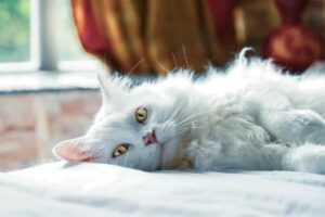 FIP In Cats | Feline Infectious Peritonitis (FIP) Symptoms and Treatment