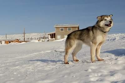 Northern Inuit dog