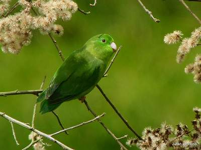 Spectacled Parrolet