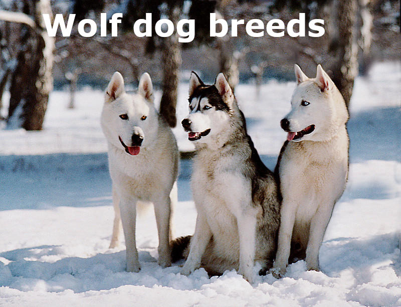 10 Wolf dog Breeds that look closely like a wolf