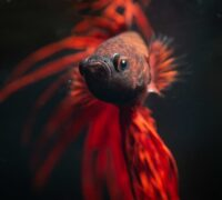 Betta Fish Care, Diet, and Supplies