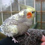 Cockatiel Bird: Cockatiel Care, Diet, and Handling