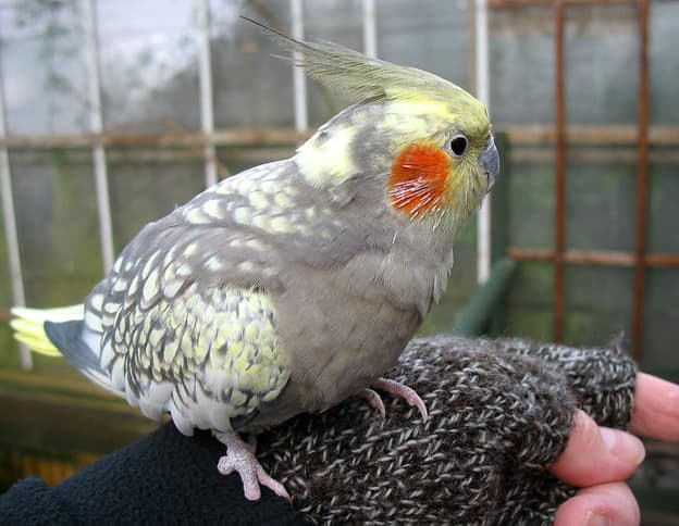 Read more about the article Cockatiel Bird: Cockatiel Care, Diet, and Handling