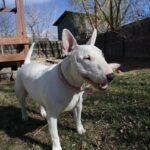 English Bull Terrier Breed Profile