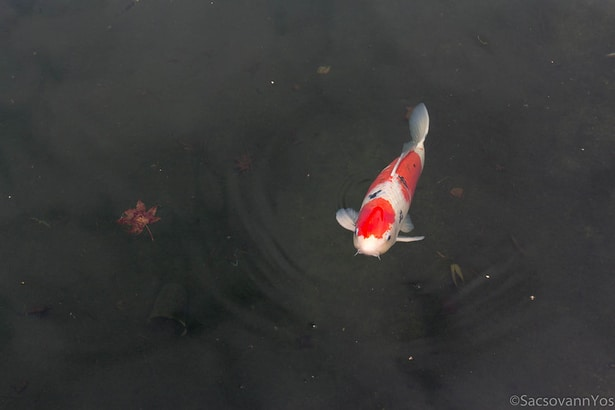 Guide to Koi Fish Care