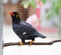 Mynah Bird Care Guide
