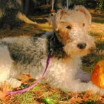 Wire Haired Terrier Dog Breed Information