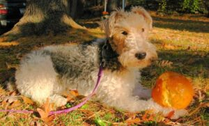 Read more about the article Wire Haired Terrier Dog Breed Information