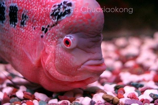 Best Flowerhorn Fish Food in India
