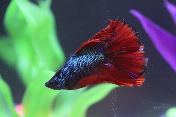 Read more about the article Male Betta Fish: Facts and Behavioral Pattern