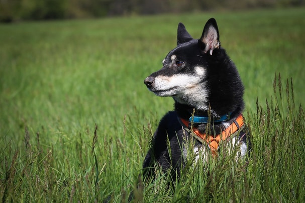 Read more about the article Black Shiba Inu Dog Facts and Information